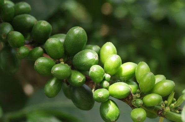 как выглядят зерна зеленого кофе